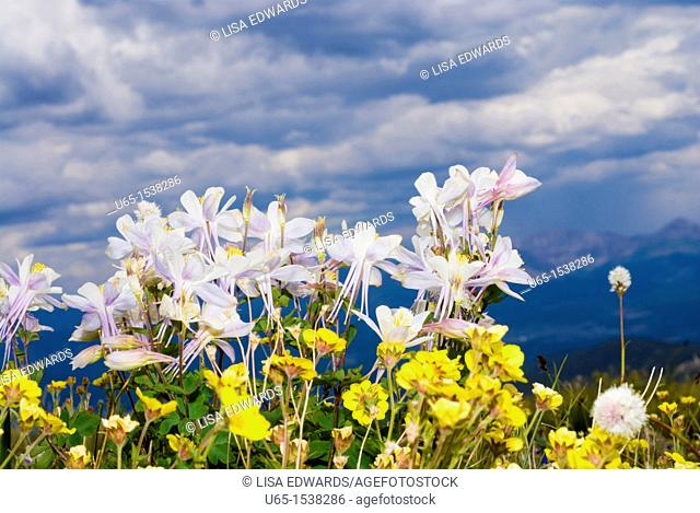 Columbines, Colorado, USA