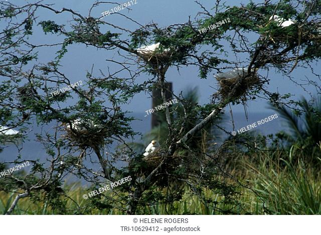 St Kitts Egrets Roosting In Tree