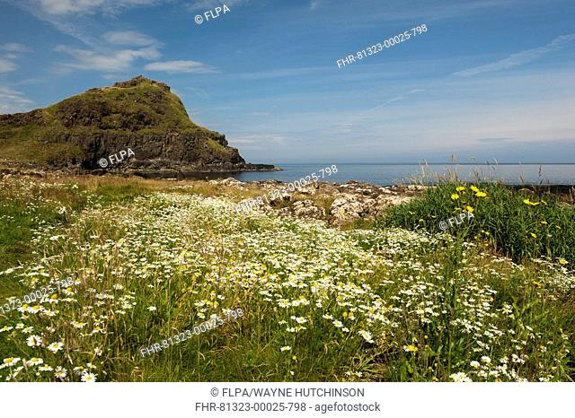 View of wildflowers and coastline, Giant's Causeway, County Antrim, Northern Ireland, July