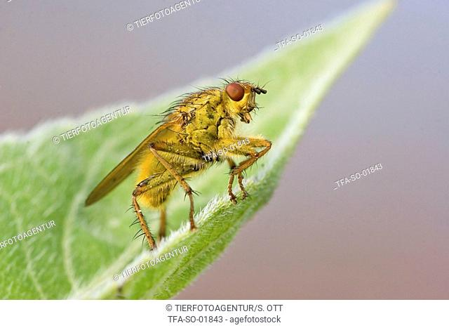 common yellow dung-fly