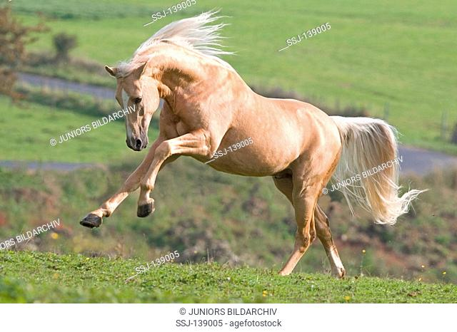 German Riding Pony - running on meadow