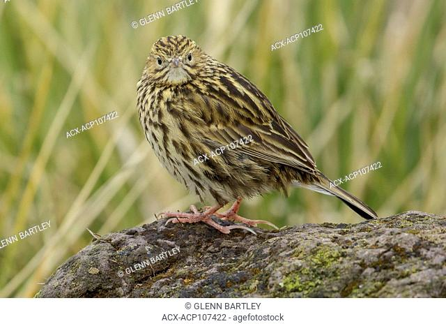 South Georgia Pipit (Anthus antarcticus) perched on tussock grass on South Georgia Island
