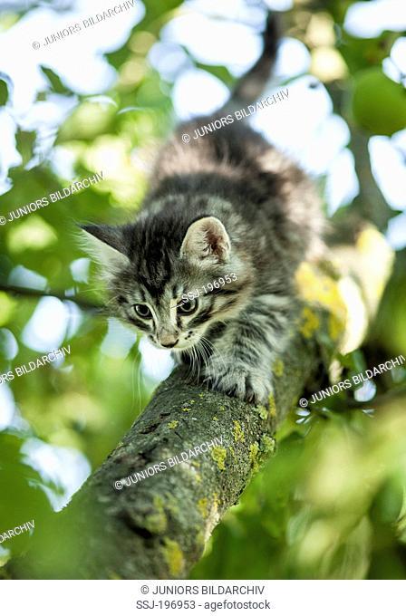 Norwegian Forest Cat. Tabby kitten walking down a branch. Germany