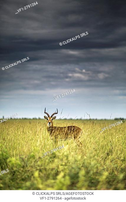 Ugandan Kob in high grass, Murchison's Falls National Park, Uganda