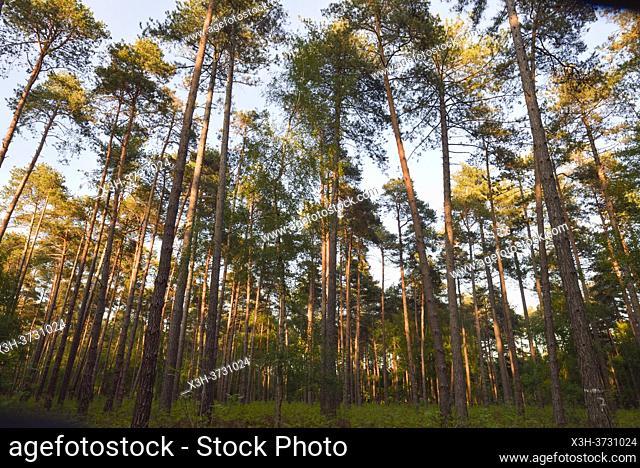 Pinede en foret de Rambouillet, Parc naturel regional de la Haute Vallee de Chevreuse, Departement des Yvelines, Region Ile de France, France