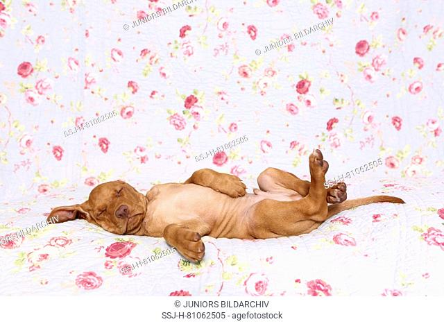 Vizsla. Puppy (6 weeks old) sleeping on a blue blanket with rose flower print. Germany