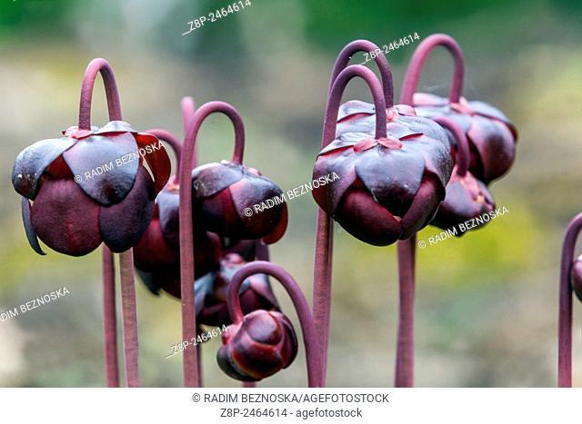 Sarracenia purpurea Purple pitcher plant