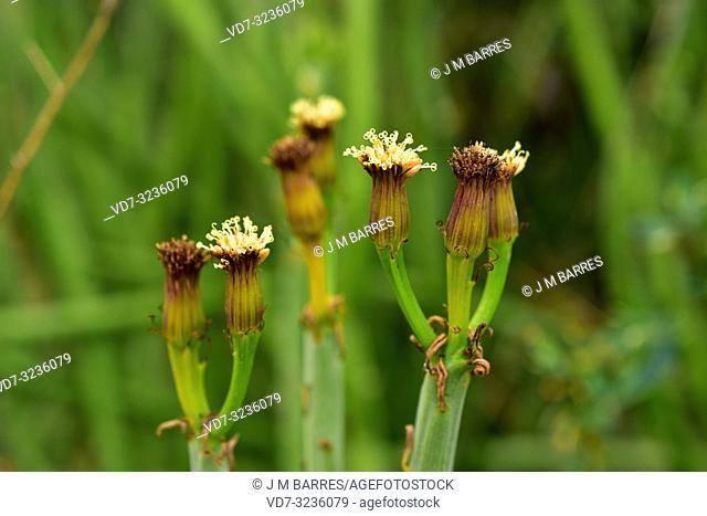 Verode de El Cabo (Kleinia anteuphorbium, Cacalia anteuphorbium or Senecio antephorbium) is a deciduous subshrub native to Morocco and Arabian Peninsula