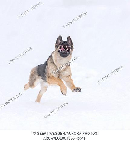 Photograph of a single German Shepherd dog running in snow