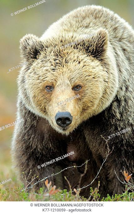 European Brown Bear (Ursus arctos),old female, Finland