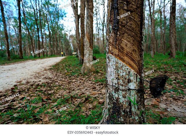 Plantation of rubber trees in Phuket, Thailand