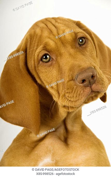 Stock photo of a two month old Hungarian Vizsla Puppy against a white background