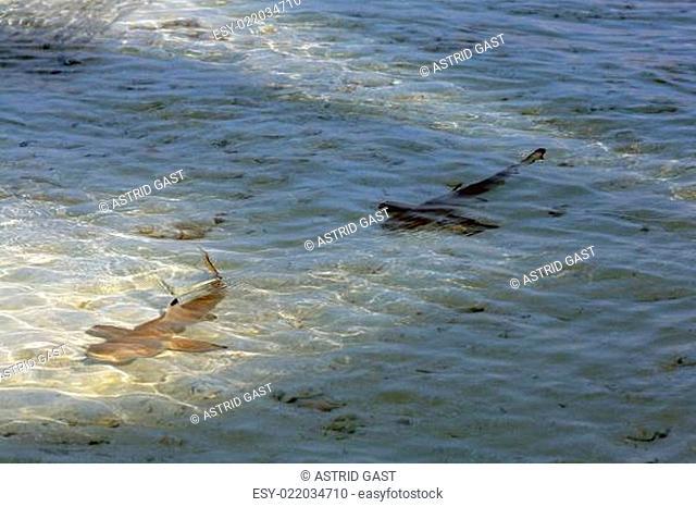 Zwei junge Schwarzspitzenriffhaie