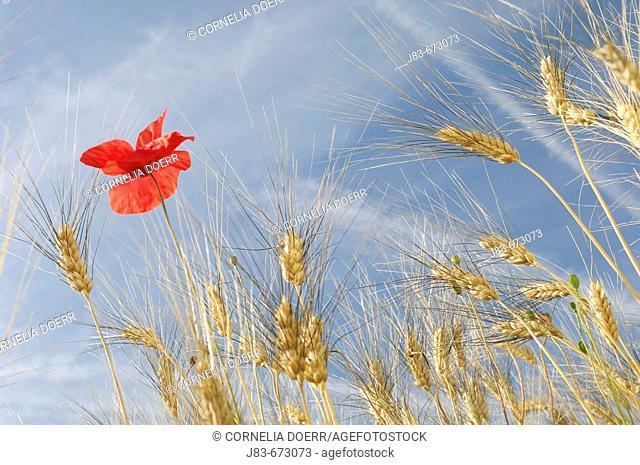 Wheat and Poppy (Papaver rhoeas), Plateau de Valensole, Valensole, Provence, France