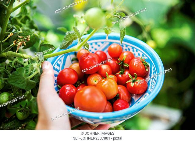 Hand holding bowl with cherry tomatoes