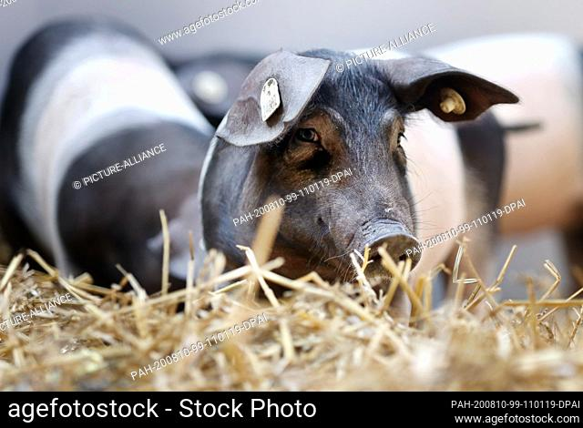 10 August 2020, Mecklenburg-Western Pomerania, Dummerstorf: Three saddle pigs stand in the newly opened outdoor area of the Leibniz Institute for Farm Animal...