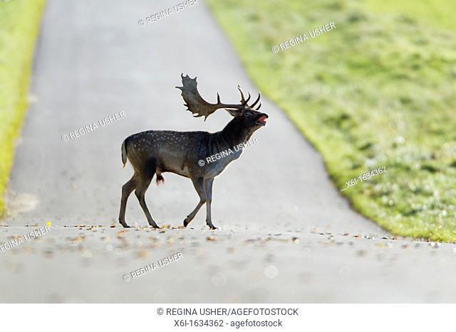 Fallow Deer Dama dama, Buck Roaring and Crossing Road, Royal Deer Park, Klampenborg, Copenhagen, Sjaelland, Denmark