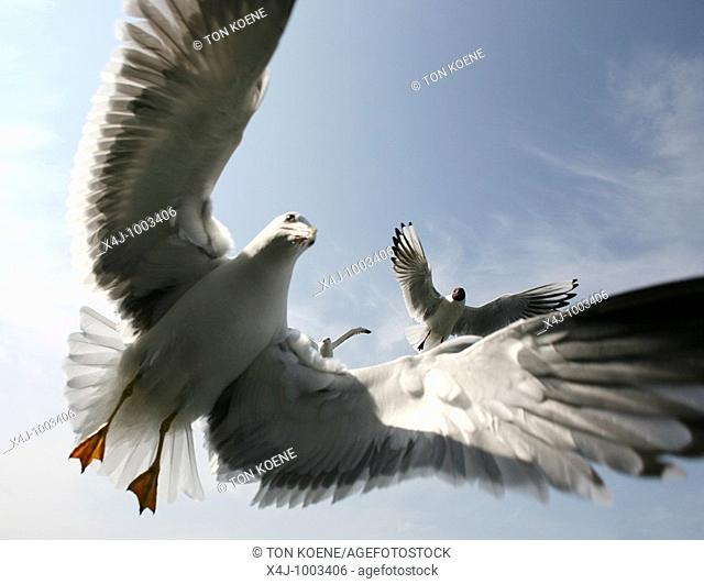 seagulls at the dutch coastline