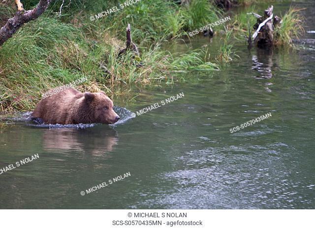 Adult brown bear Ursus arctos foraging for dying sockeye salmon at the Brooks River in Katmai National Park near Bristol Bay, Alaska
