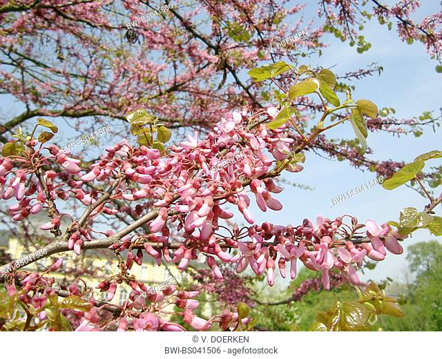 judas tree (Cercis siliquastrum), blooming