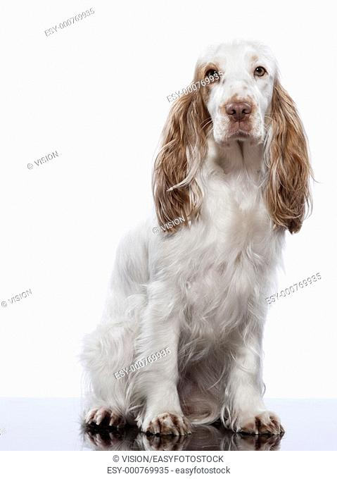 red English Cocker Spaniel on studio white background