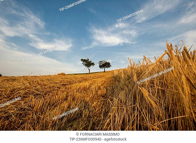 wheat field landscape with trees during harvesting