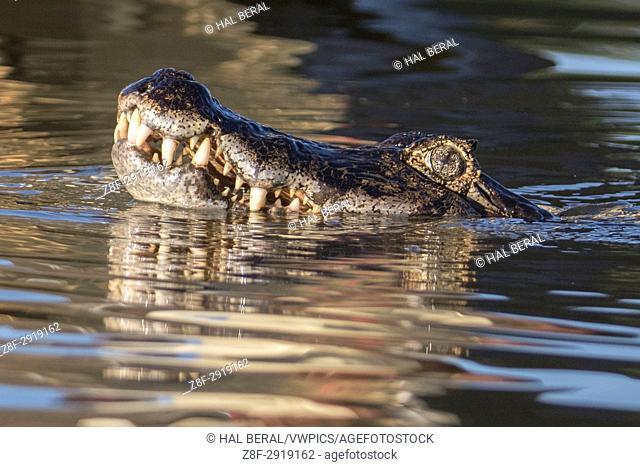 Yacare Caiman close-up (Caiman yacare) Pantanal, Brazil