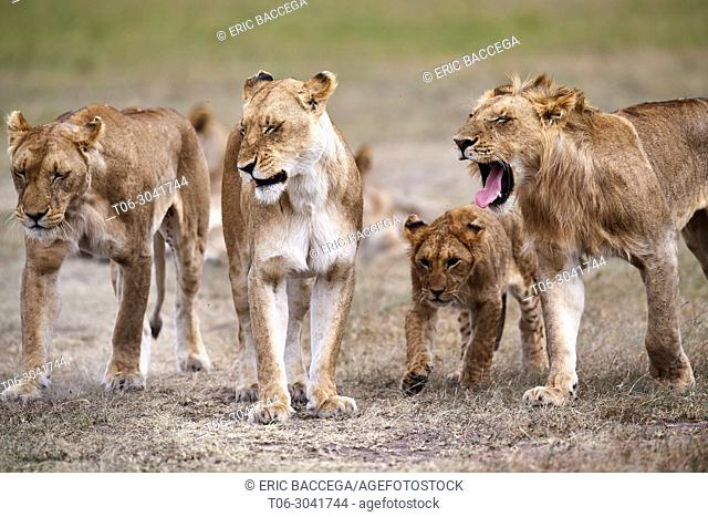 African Lion (Panthera leo) pride on the move with lionesses and cubs, Masai Mara National Reserve, Kenya, Africa