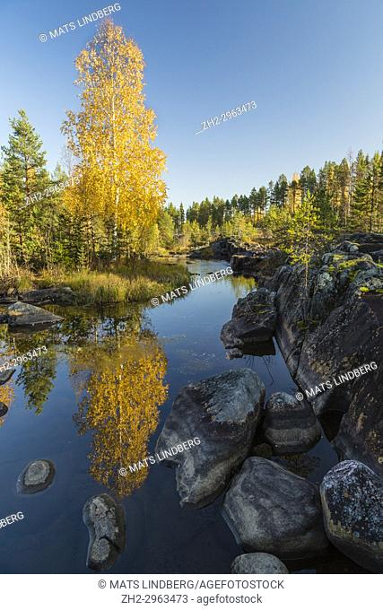 Birch tree at Storforsen reflecting in water, nice yellow colored leaves, Älvsbyn county, Norrbotten, Sweden