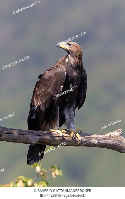Golden eagle (Aquila chrysaetos), juvenile perched on dead branch, Campania, Italy