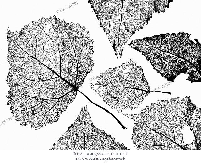 Black Poplar Populus nigra skeleton leaf at sunset