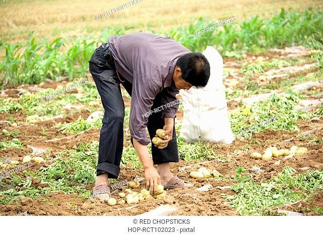 Farmer picking potatoes in a field, Zhigou, Shandong Province, China