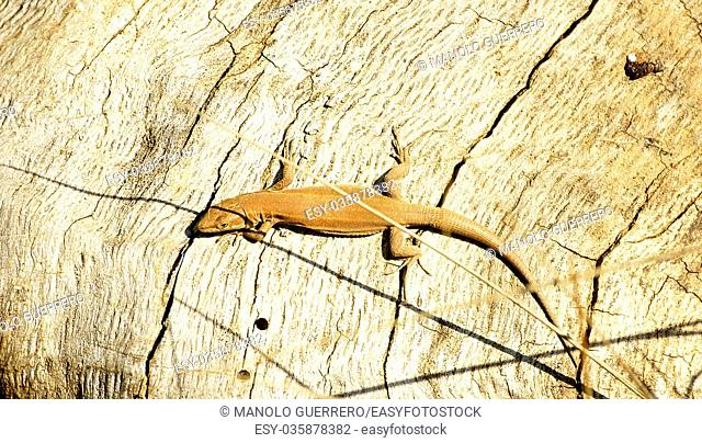 Lizard sunbathing on a trunk in Collserola park in Barcelona province of Catalunya, Spain