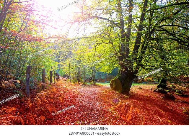 Autumn Selva de Irati fall beech jungle in Navarra Pyrenees of Spain