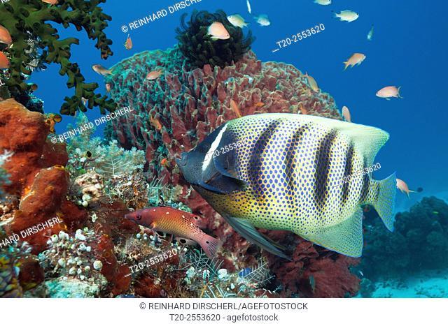 Six-banded Angelfish, Pomacanthus sexstriatus, Komodo National Park, Indonesia