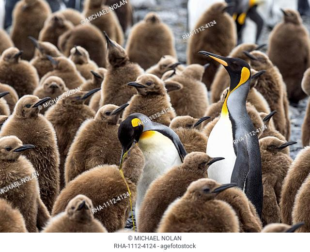 Adult king penguins, Aptenodytes patagonicus, amongst chicks at Salisbury Plain, South Georgia Island, Atlantic Ocean