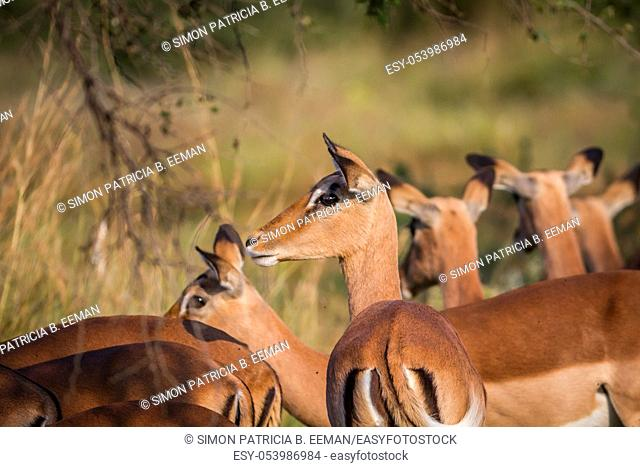 Side profile of a female Impala in a herd in the Pilanesberg National Park, South Africa