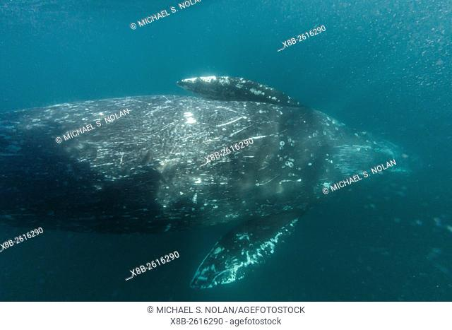 California gray whale, Eschrichtius robustus, mother underwater in San Ignacio Lagoon, Baja California Sur, Mexico