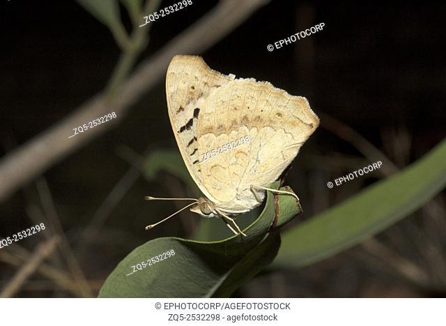 Lemon Pansy, Junonia sp, Nymphalidae, Madhya Pradesh, India