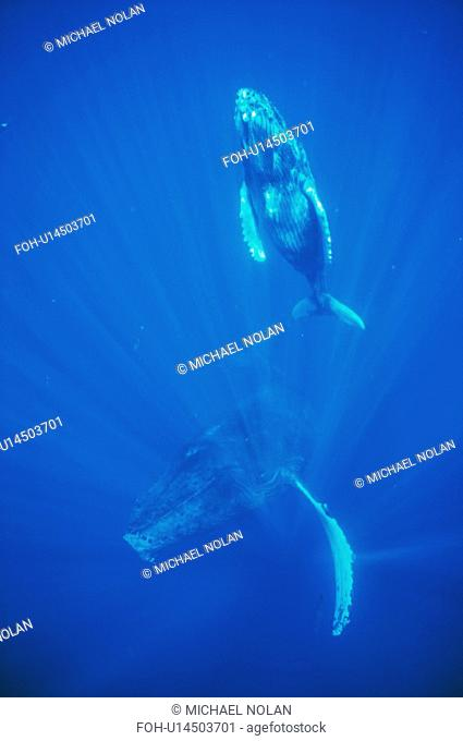 Humpback whale mother and calf underwater in the AuAu Channel, Maui, Hawaii