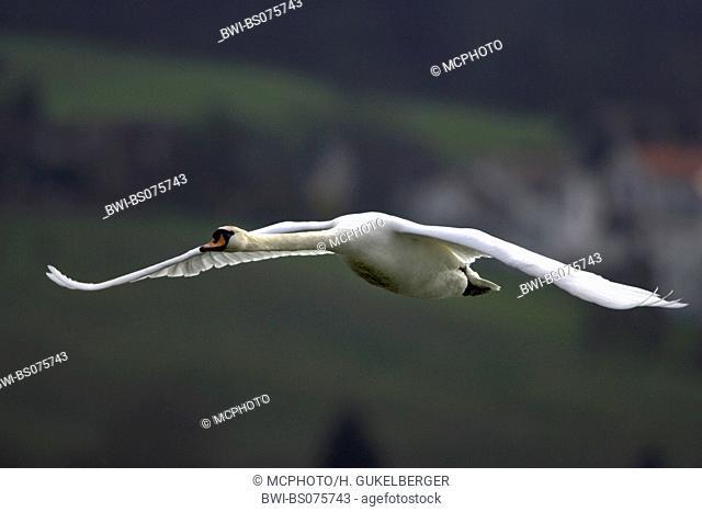 mute swan (Cygnus olor), flying