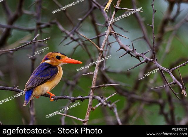 African pygmy kingfisher (Ispidina picta). Zimanga Private Game Reserve, Mkuze Estate. KwaZulu Natal. South Africa