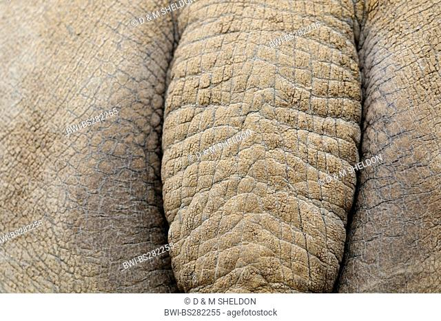 greater Indian rhinoceros, great Indian one-horned rhinoceros Rhinoceros unicornis, close-up view of the tail