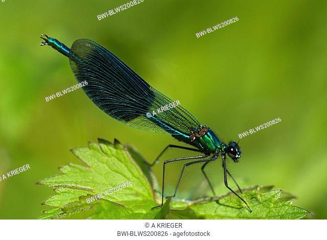 banded blackwings, banded agrion, banded demoiselle Calopteryx splendens, Agrion splendens, male sitting on a leaf, Germany, Saarland
