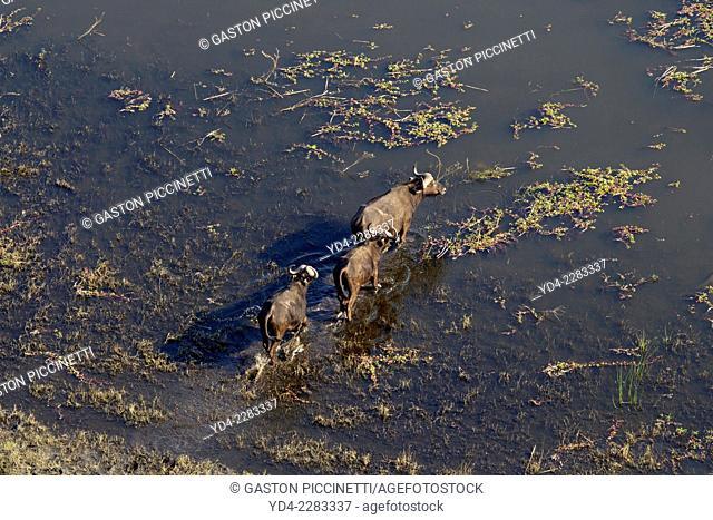 Aerial view of African buffalo or Cape buffalo group (Syncerus caffer), crossing the floodplain. Okawango Delta, Botswana