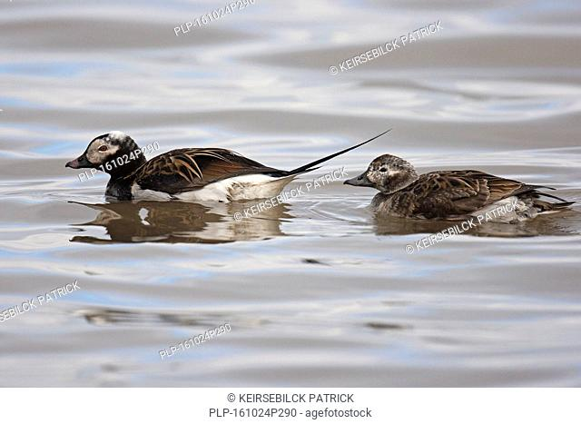 Long-tailed duck (Clangula hyemalis) male and female swimming in sea in spring