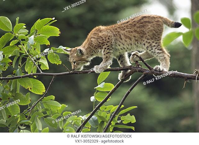 Young Eurasian Lynx (Lynx lynx) balances skillful on a thin branch