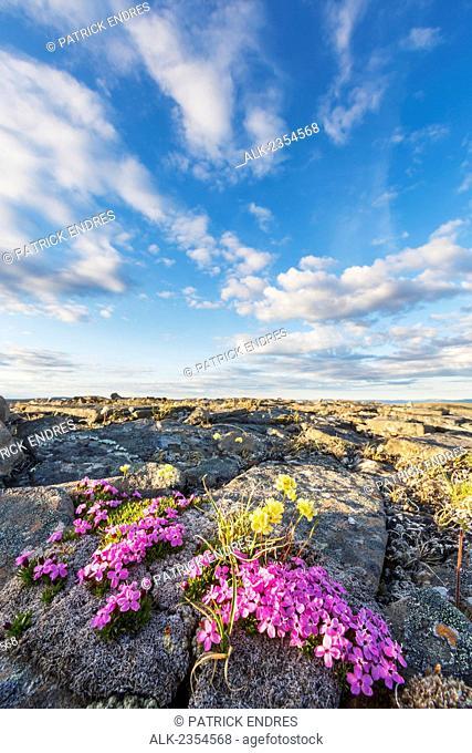 Pink moss campion blossoms, Archimedes Ridge, Utukok Uplands, National Petroleum Reserve, Alaska
