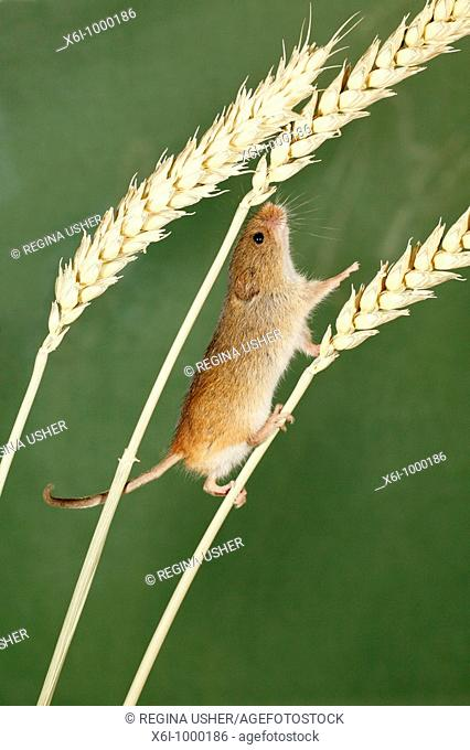 Harvest Mouse Micromys minutus, climbing using prehensile tail, between wheat stalks
