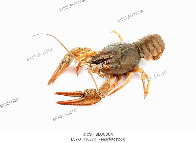 River raw crayfish